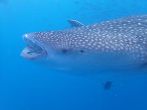 ジンベエザメ体験ダイビングです!